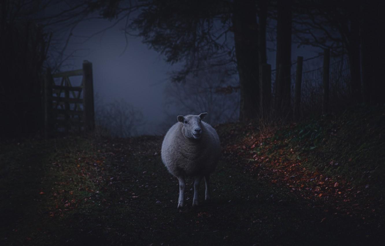 Фото обои дорога, осень, листья, ночь, природа, темный фон, забор, ограждение, сумерки, тропинка, овечка, овца, фотоарт