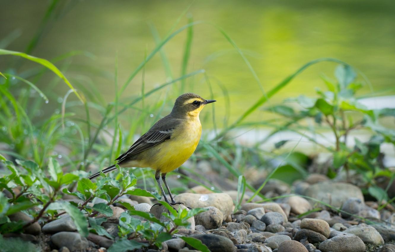 Фото обои камни, птица, птаха, желтая трясогузка