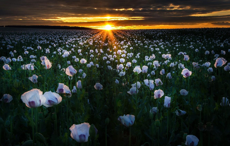 Фото обои поле, солнце, лучи, пейзаж, закат, цветы, природа, маки, вечер, Zan Foar