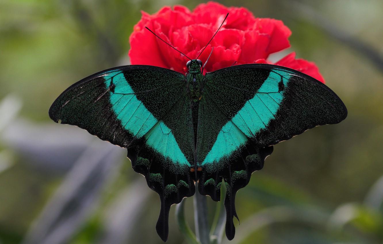 Фото обои цветок, макро, бабочка, крылья, насекомое, махаон