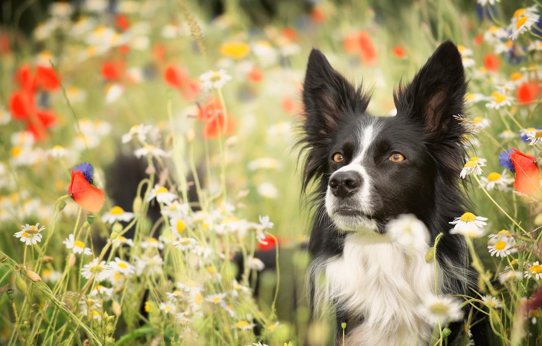 Обои собаки, люпины, цветы, Две собаки, луг. Собаки foto 15