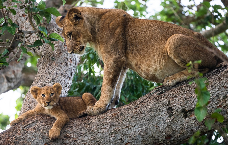 Фото обои животные, природа, звери, дерево, хищники, детёныш, львица, львёнок