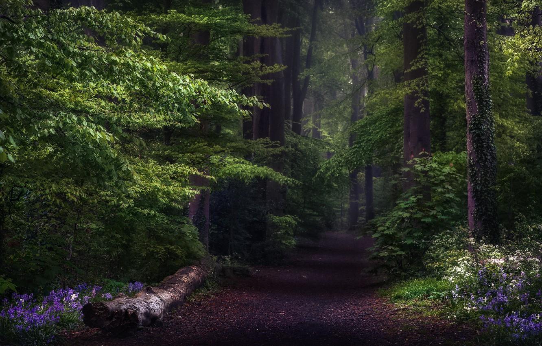 Фото обои дорога, лес, деревья, цветы, природа, Англия, тропа, Весна, Великобритания, дымка, колокольчики, графство Хэмпшир, Гиацинтоидес, Мишелдевер, …