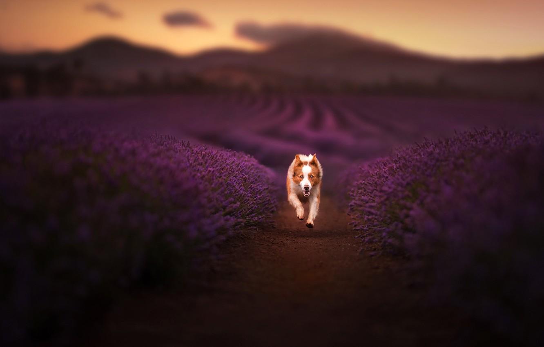 Фото обои собака, бег, лаванды