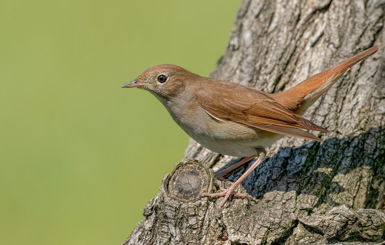Фото обои дерево, птица, соловей