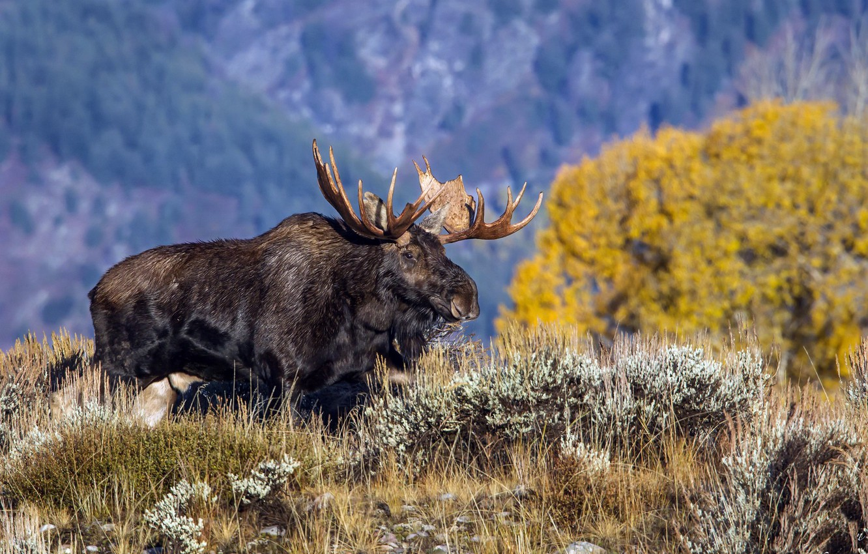 Фото обои Wyoming, Grand Teton National Park, North American Moose