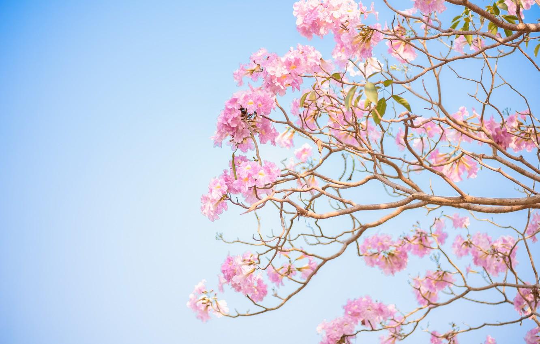 Фото обои цветы, ветки, весна, розовые, цветение, pink, blossom, flowers, spring, bloom