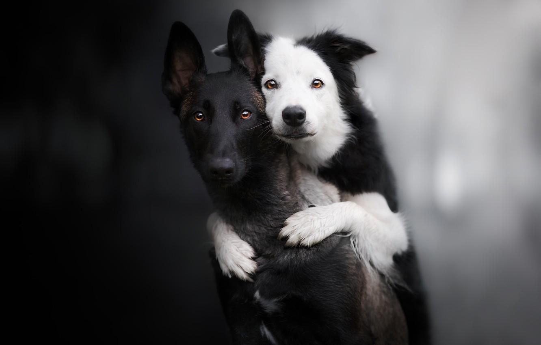 Фото обои взгляд, фон, парочка, друзья, две собаки, Бордер-колли, Малинуа, Бельгийская овчарка