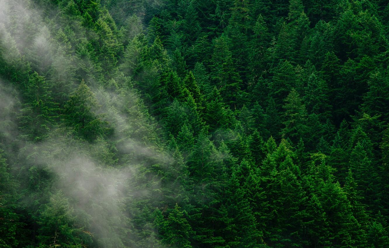 Фото обои лес, деревья, туман