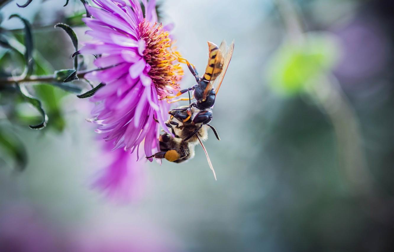 Фото обои цветок, макро, насекомые, природа, парочка, пчёлы