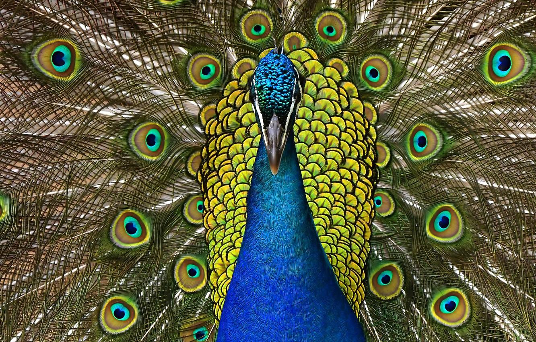 Фото обои птица, узор, портрет, хвост, павлин, веером