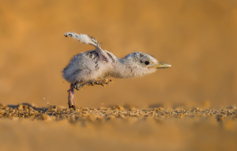 Фото обои чайка, птенец, seagull, chick, take off, Faisal ALnomas, на взлёт