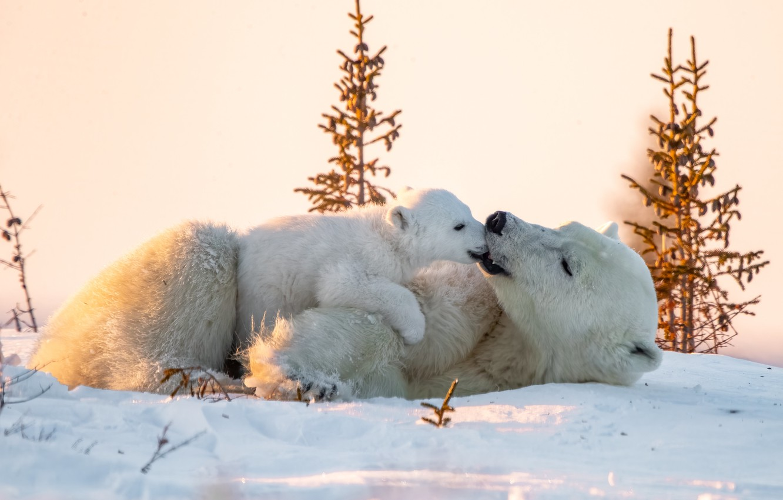 Фото обои зима, животные, снег, природа, хищники, медвежонок, детёныш, белые медведи, медведица