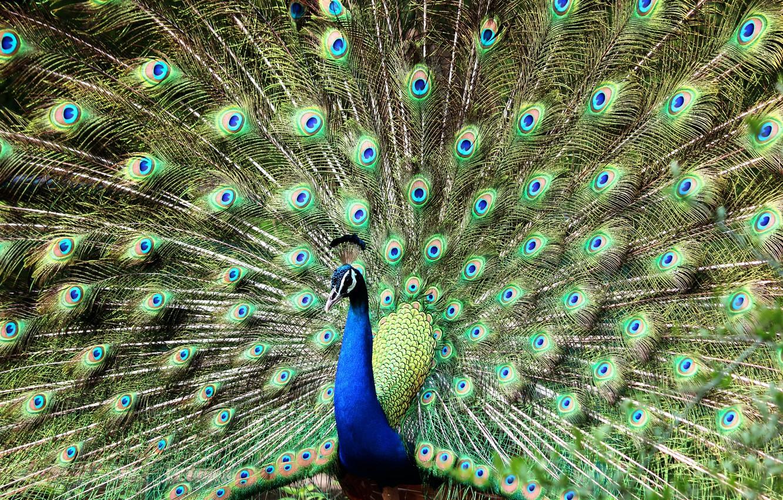 Фото обои птица, красота, павлин, bird, переливы, яркое оперение, peacock, spread tail, Naushil Ansari, bright plumage, распустил …