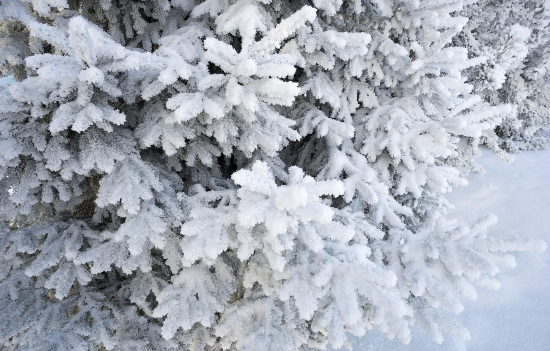 Фото обои зима, снег, елка, winter, snow, spruce, frost, fir tree, ветки ели