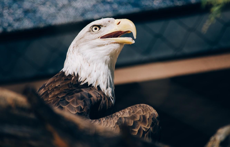 Фото обои взгляд, орел, клюв