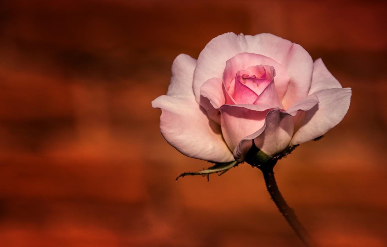 Фото обои фон, розовая, роза