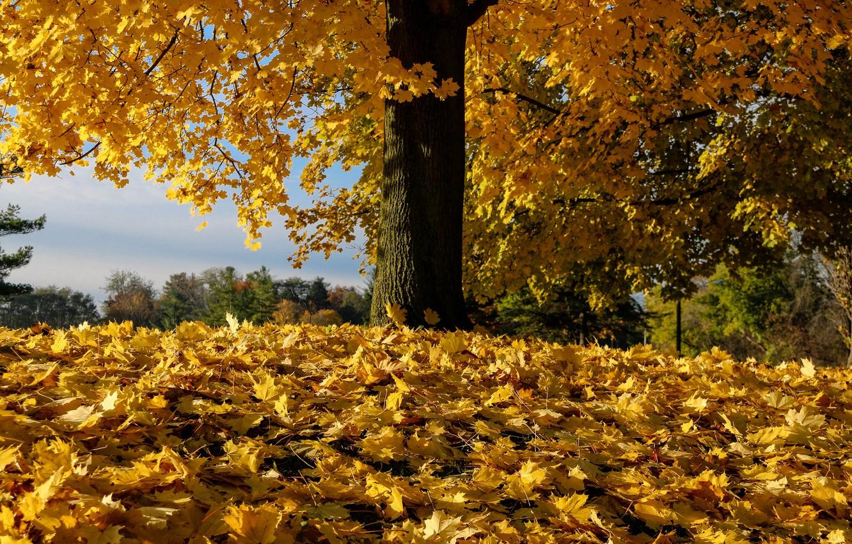 Фото обои осень, листья, дерево, опавшая листва