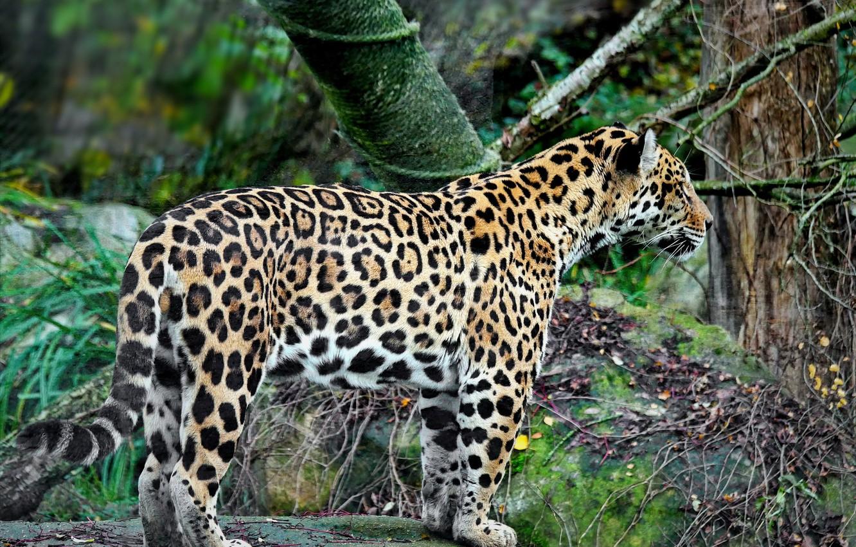 Фото обои хищник, ягуар, фауна