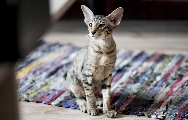 Фото обои кошка, кот, взгляд, морда, поза, котенок, комната, коврик, сидит, боке, сфинкс, табби, половик