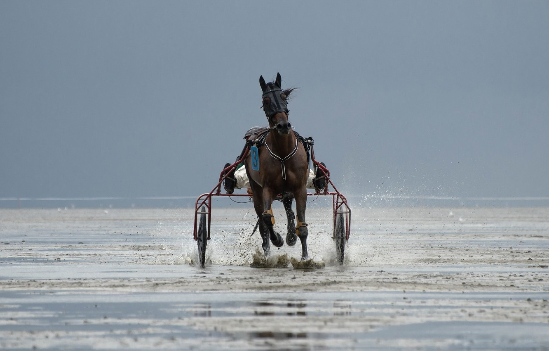 Фото обои конь, гонка, спорт, бег, упряжка