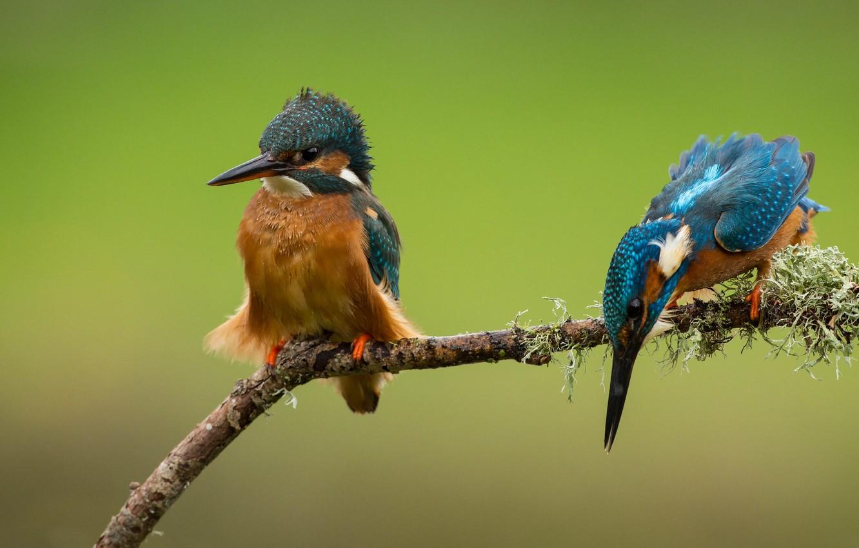 Фото обои птицы, ветка, парочка, зимородки