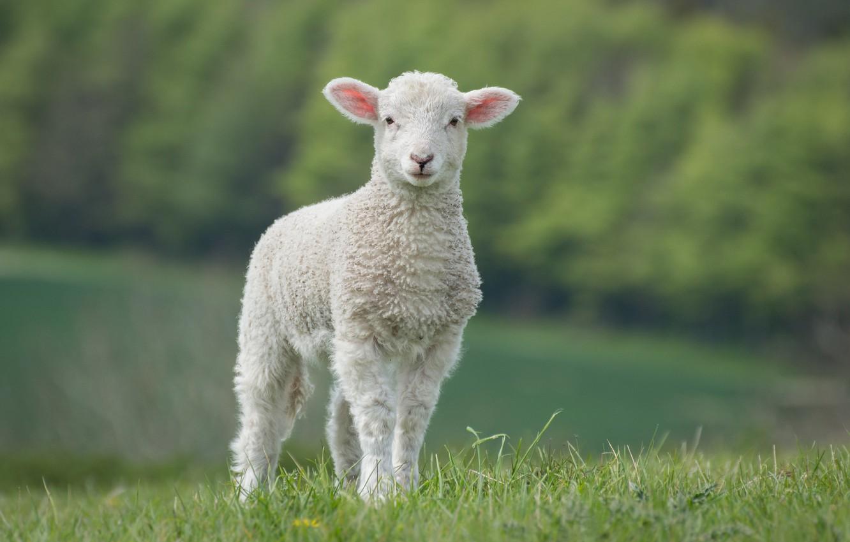 Красивые картинки с овцой