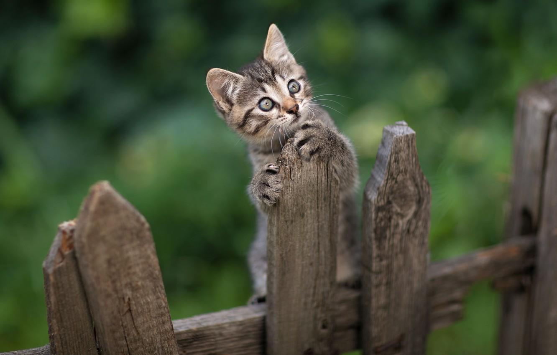 Фото обои взгляд, животное, забор, котёнок, Юрий Коротун