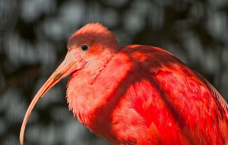 Фото обои bird, exotic, beak, fathers