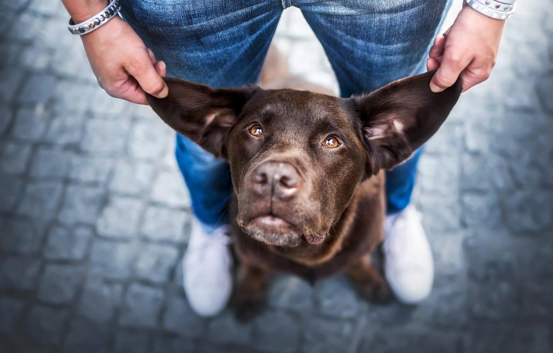 Фото обои взгляд, морда, мужик, собака, уши
