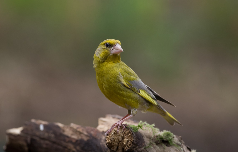 Фото обои птица, коряга, птаха, зеленушка