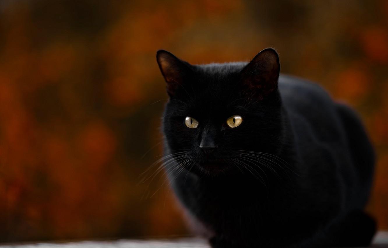 Фото обои сидит, размытый задний фон, черная кошка
