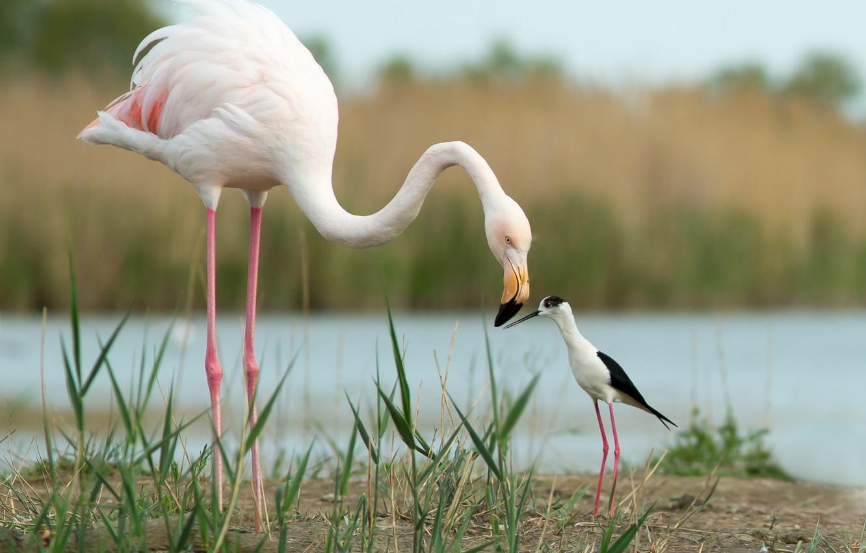 Фото обои птицы, друзья, Фламинго, Ходулочник
