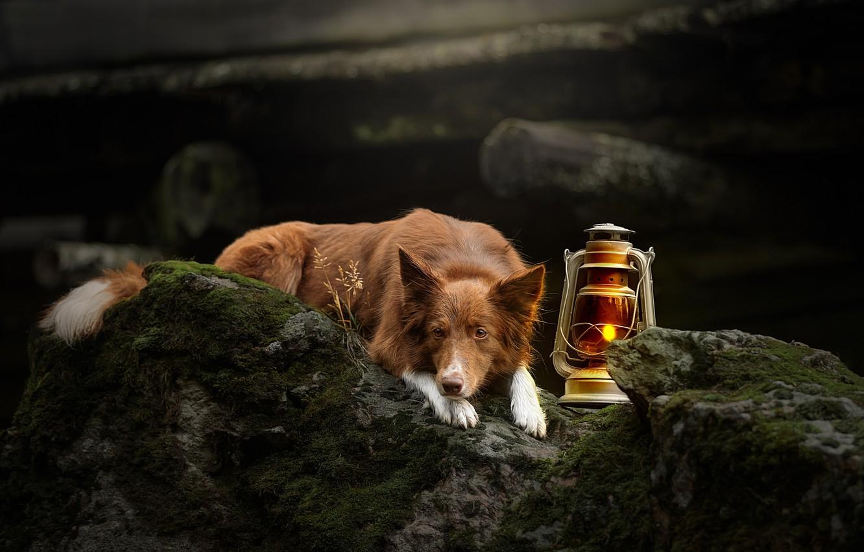 Фото обои камни, лампа, мох, собака, фонарь, Бордер-колли, Светлана Писарева