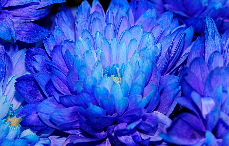 Фото обои цветы, хризантемы, синие лепестки