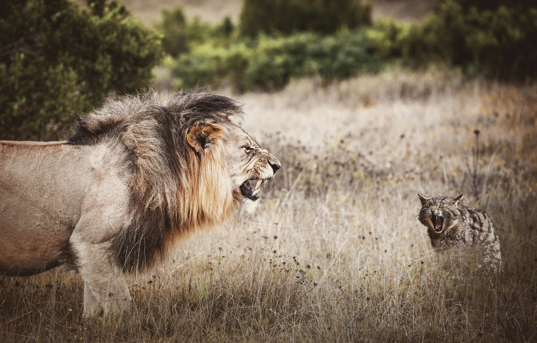 Фото обои поле, кот, природа, хищники, ситуация, обработка, противостояние, лев, пасть, клыки, дикие кошки, агрессия, кусты, морды, …
