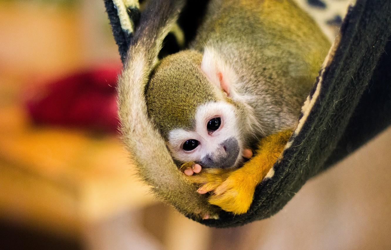 Фото обои взгляд, желтый, поза, фон, обезьяна, гамак, хвост, плед, мордашка, детеныш, обезьянка, боке, саймири