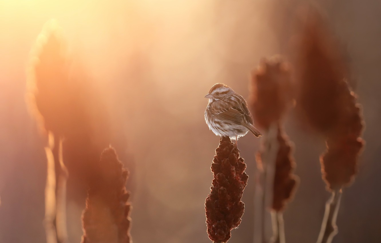 Фото обои Song sparrow, Melospiza melodia, Bruant chanteur