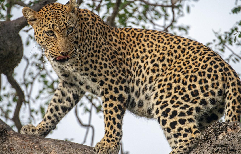 Фото обои хищник, леопард, дикая кошка