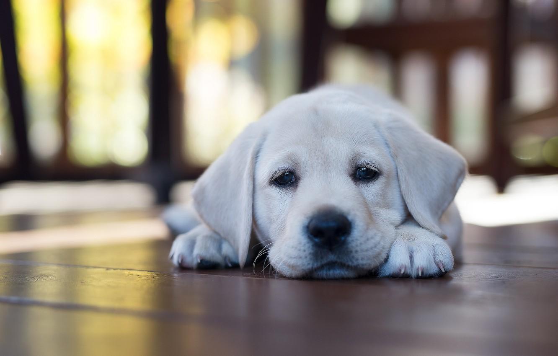Фото обои дом, собака, щенок