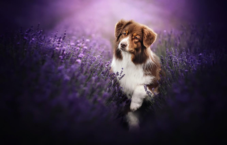 Фото обои друг, собака, лаванды
