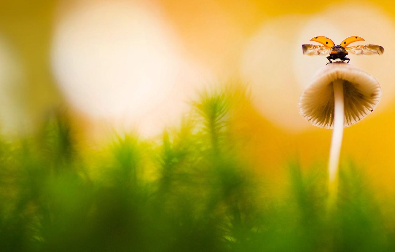 Фото обои природа, гриб, божья коровка, насекомое