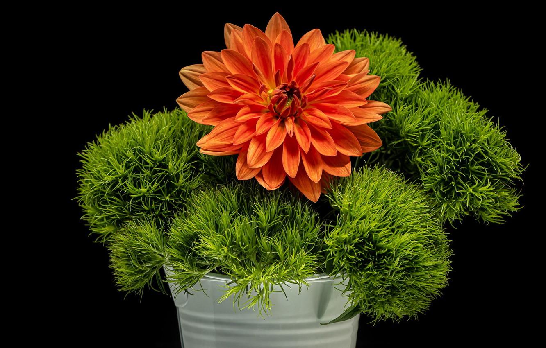 Фото обои зелень, цветок, чёрный фон, георгина