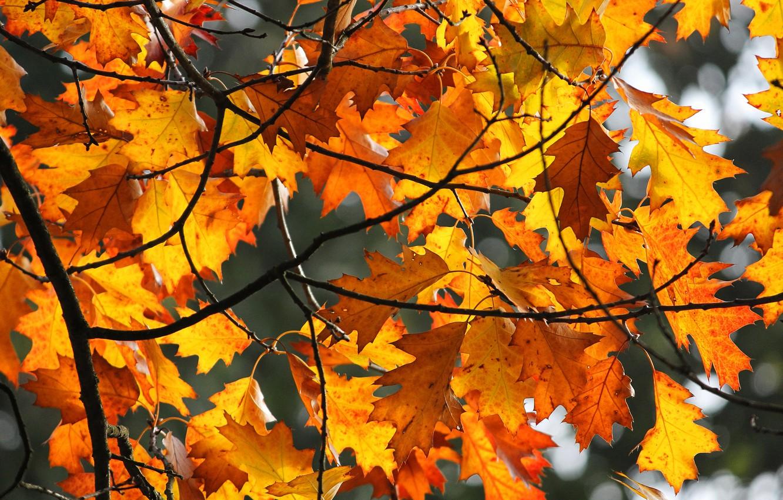 Фото обои осень, листья, свет, ветки, желтые, кленовые, краски осени, осенние листья