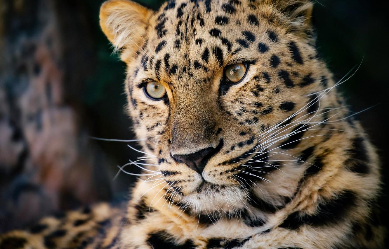 Обои леопард, Кошка, морда. Кошки foto 13