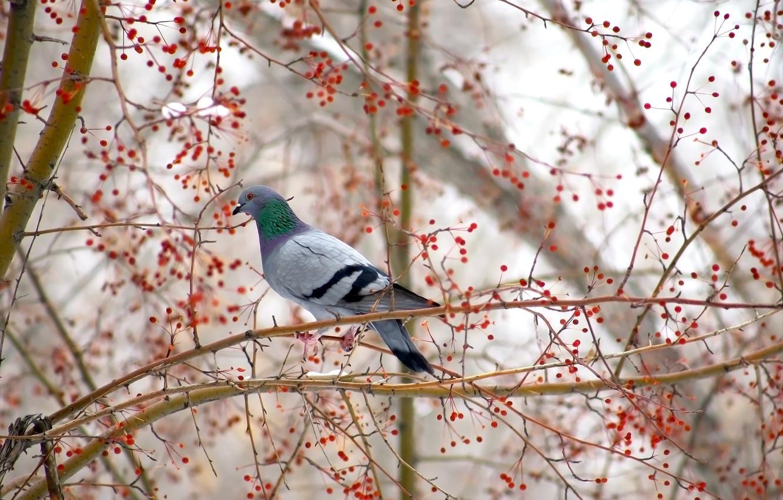 Фото обои дерево, птица, голубь, яблоня