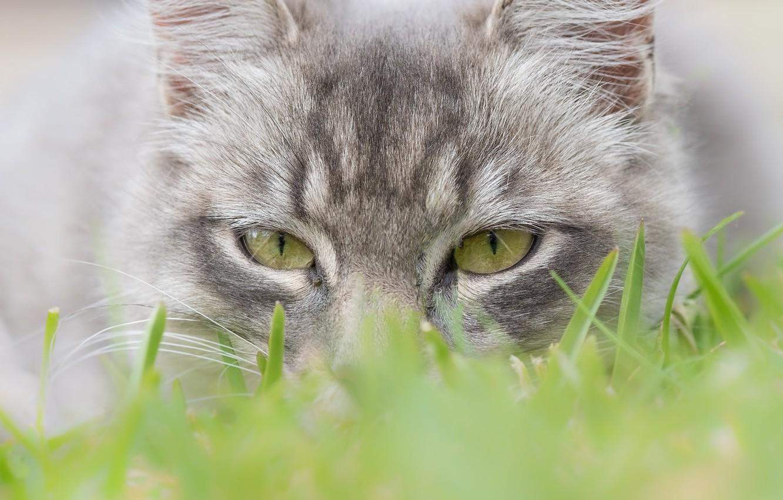 Фото обои кошка, трава, глаза, взгляд, мордочка, котейка