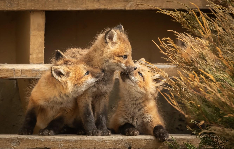 Фото обои природа, звери, лисы