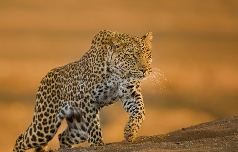 Фото обои фон, хищник, леопард, дикая кошка