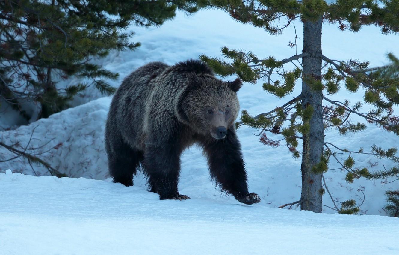 после ужина бурый медведь шатун зимой фото низкие цены памятники